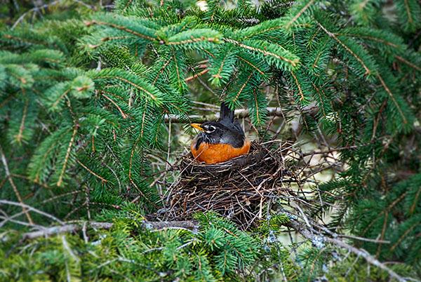 Photo : nesting robin par Charlie McKenzie